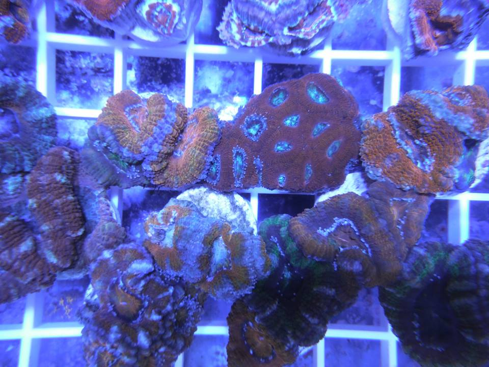 Coral reef frags hatboro pa for Saltwater fish stores near me