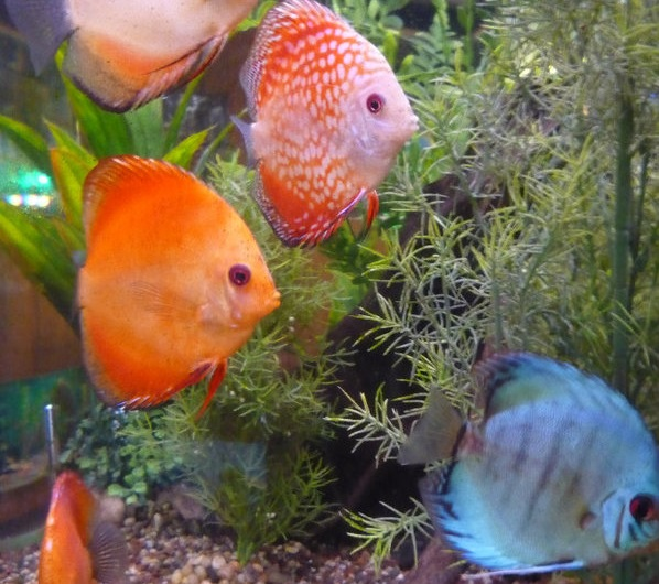 Royal tropical fish bird haven royal oak mi for Exotic fish store near me