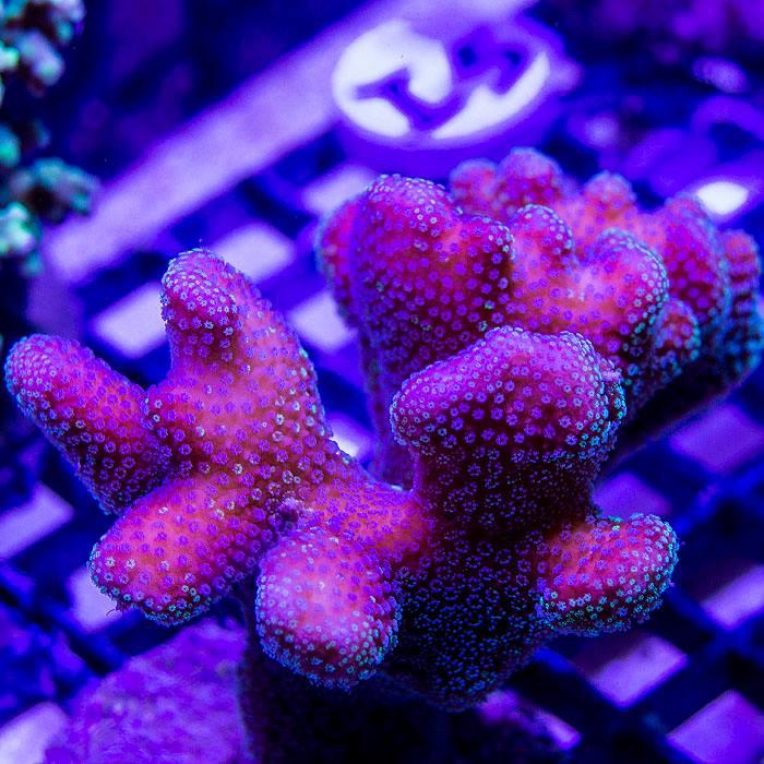 Your reef aquarium roseville ca for Saltwater fish store