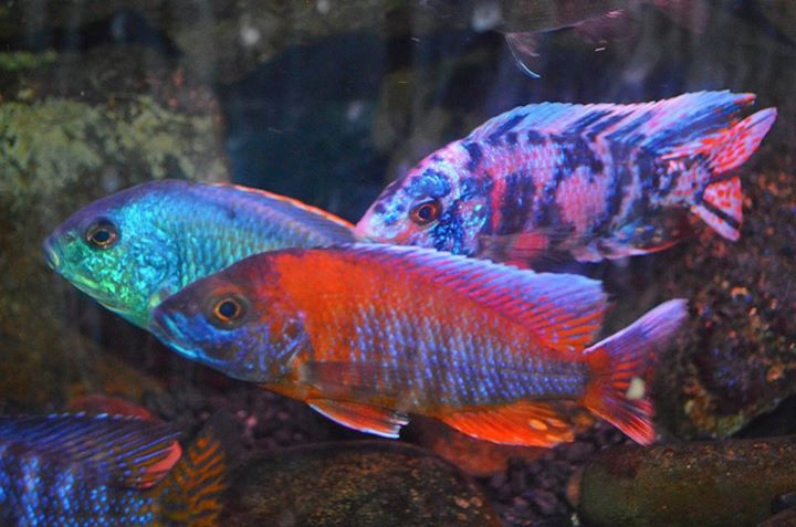 Local fish and aquarium stores in il for Tropical fish near me
