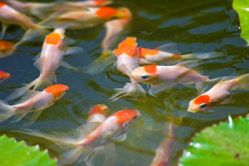 Local fish and aquarium stores in fl for Where to buy koi fish near me