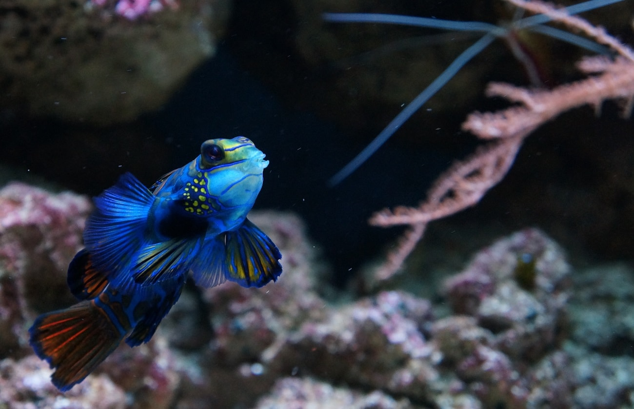 Mandarin Dragonet Background